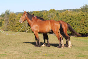 Belgian cross Clyde Geldings & Colts - Matched pairs