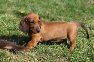 Looking for mini or regular dachshund