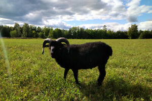 Registered Black Icelandic Ram Yearling