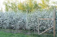 Sour cherry orchard