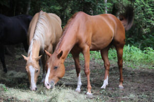 Beautiful Mare and Filly for sale! Mother-daughter duo.