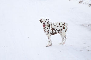 Female Liver Spotted Dalmatian