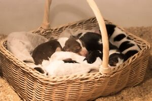 BEAGLE PUPPIES (ready to go 2 weeks before Christmas)