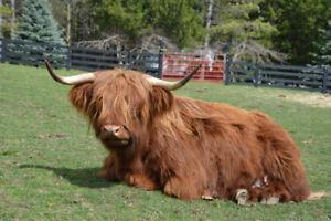 Highland grass feed