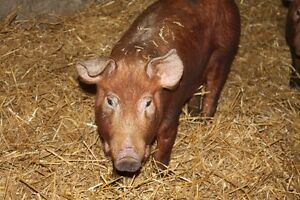 Red Wattle Tamworth X grower/finisher pigs