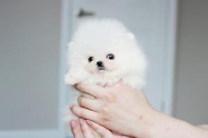 Pomeranian Adopt Dogs Puppies Locally In Toronto Gta Kijiji