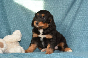 Poodle Puppies Kijiji In Manitoba Buy Sell Save With