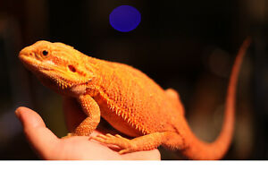 Super Red Trans double het Purple paradox Line Bearded Dragons