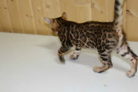 Bengal Kittens Registered Tica