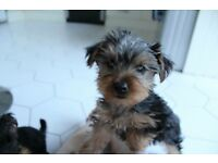 Yorkshire / Yorkie pup for sale