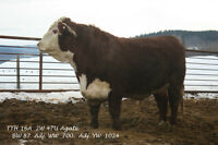 2 yr old Polled Hereford bulls