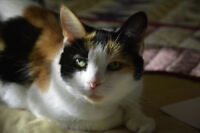 Lost - 16 yr old Calico Cat