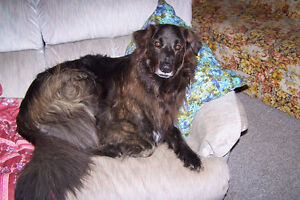 wanted great Pyrenees/collie mix