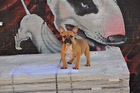 French bulldog X English bulldog