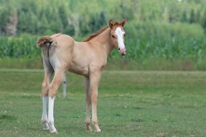 Registered APHA Red Dun, Colt.