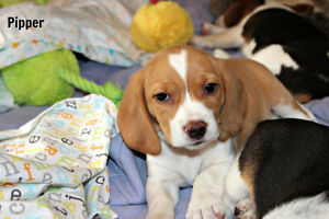 Outstanding Beagle Baby Girl