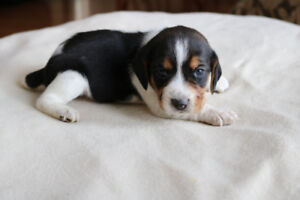 CKC regsitered Beagle puppies
