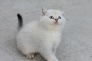 British Kitties Looking For Home!