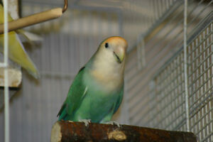 male love bird with DNA proven