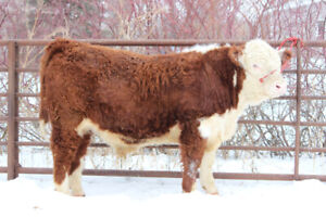 Registered Hereford Bulls For Sale