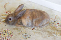 mini rex and lion head baby bunnies for sale