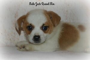 Jack Russel mix puppies !! 1 male 1 female