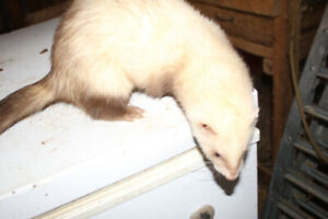 Female Ferrets for Sale