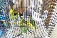 Budgies on sale for thanks giving day