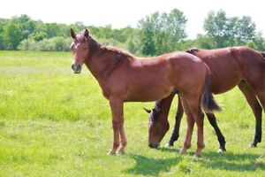 Yearling reined cow horse prospect