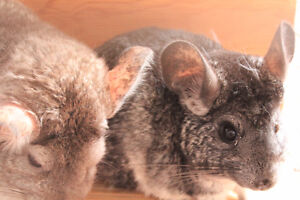 Chinchilla 1 male, 1 female and 1 baby with the vetrina-cage
