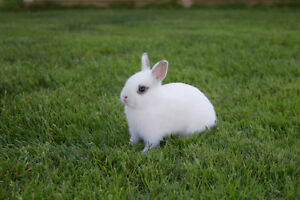 Pure bred baby Netherland Dwarf bunnies for sale