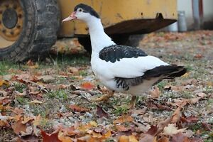Gorgeous,Young, Female Muscovy Ducks Kitchener / Waterloo Kitchener Area image 3