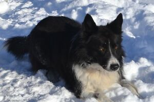 AMAZING ADULT MALE BORDER COLLIE !!