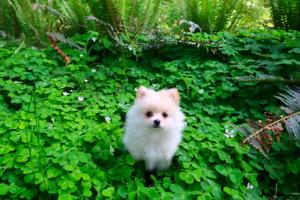 TINY cute Pomeranian Puppy