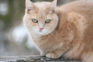 Missing Orange Cat -Halibut Bay near Halifax (last seen Sept 14)