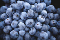 BLUEBERRY PICKERS WANTED!!!