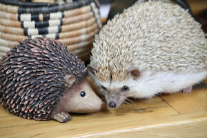 Want to keep your pet hedgehogs? Better join this FB group!