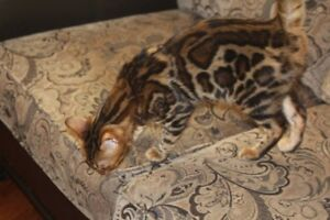 Bengal  Kittens  Top Breeder      10 month old Male Pics Below