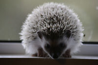 Female Hedgehog!