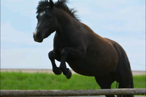 Pony for potential lease