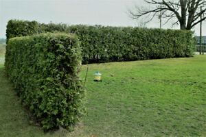 WHITE SWAMP CEDAR HEDGE TREES AND EMERALD CEDAR TREES FOR SALE