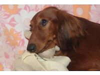 KC REGISTERED LONG HAIRED DACHSHUNDS PUPPIES