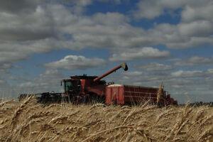 Certified Seed - Winter Wheat Regina Regina Area image 5