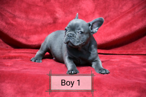Gorgeous Blue French bulldog puppies
