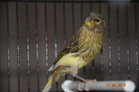 Two Baby Canaries for sale!