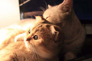Scottish fold golden and stright silver - reproducers