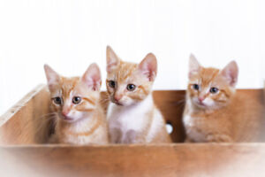 Two adorable marmalade kittens for adoption