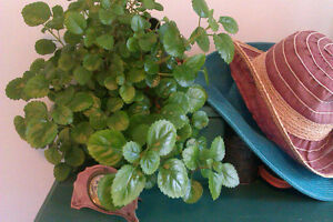 Gorgeous Swedish Ivy!  Rooted and unrooted cuttings available