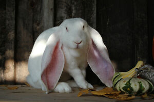 English Lop Babies for Sale Stratford Kitchener Area image 7