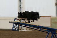 Dog Agility Group Lessons (Intro, Advanced & Puppy)